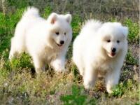成都犬舍出售精品萨摩幼犬一血统纯正一纯种健康