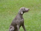 威玛猎犬哪有卖的/宠物店狗市在哪里