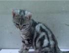 英短蓝猫 美短虎斑 幼猫多只 无病无癣 包养活 可