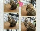 低价出售三只成年母孟加拉豹猫