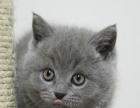 出售纯种蓝猫猫咪 宠物猫活体保健康售后保证