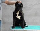 北京靓宠国际名犬中心专业繁殖**卡斯罗犬
