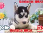 精品优选专业出售纯种哈士幼犬 蓝颜三火哈士奇