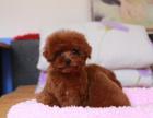 中国专业繁殖双血统贵宾犬犬舍 可以上门挑选