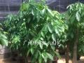 番禺区市桥石楼 绿植租赁,室内盆栽出摆,花卉出租