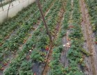 黄石草莓采摘团购