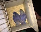 **牡丹鹦鹉紫罗兰