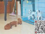 哪里有卖斑点狗?斑点狗多少钱?