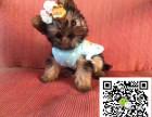 聪明,善良的约克夏犬出售,健康,毛量足,自家繁殖