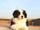 聪明易训超可爱活泼漂亮边牧幼犬 健康质保