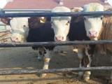 山西肉牛犊价格,山西省养牛场