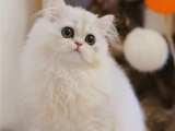浙江台州纯种双血统布偶猫特价出售