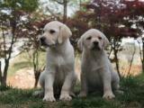 重庆 完美品相 公母齐全 签协议纯种健康 拉布拉多犬