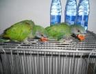 转让大绯胸鹦鹉 小绯胸鹦鹉幼鸟 很聪明的 会说话