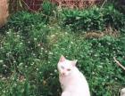 家养小猫,100一只 鸳鸯眼