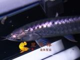 广州呈千祥龙鱼贸易公司渔场编号F9999 紫背金龙