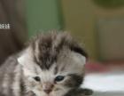 家养美国短毛猫起司猫出售啦