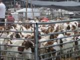徐州丰县沛县波尔山羊价格西门塔尔牛养殖场