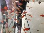 出售自己家养的红箭孔雀鱼