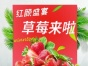 鹿疃瑞丰草莓采摘园 草莓 游玩 冬天 暖和亲子采摘