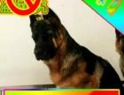 送货上门—专业繁殖德国牧羊犬—签售后协议可见父母