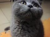 潮州哪里有蓝猫卖 蠢萌型 健康无廯送货上门 支持空运
