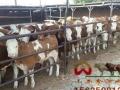 山西肉牛养殖基地欢迎您