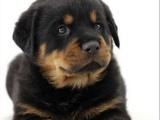 罗威纳犬舍双血统高品质德系大头宽头版罗威纳幼犬