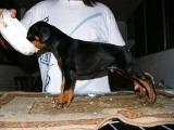 杜宾犬什么价位哪里有杜宾卖杜宾好养吗