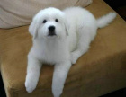 哪里有卖大白熊的 大白熊掉毛吗 大白熊一般多少钱