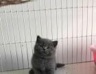正规猫舍出售英国短毛猫蓝猫蓝白 纯种健康 可签订协