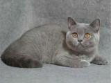 上海靜安雙血統藍貓價格