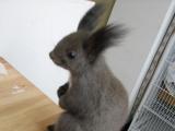 广东实体养殖基地出售各种荷兰猪豚鼠兔子仓鼠刺猬龙猫