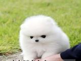 佛山正规犬舍出售纯种健康博美犬 佛山禅城区南庄哪里有卖博美犬
