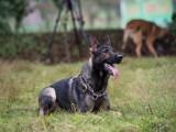廣州訓犬 寵物訓練 警犬訓練 工作犬訓練