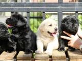 上海本地 出售拉布拉多犬,簽合同包健康純種,本地可送貨上門