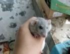 宠物花枝鼠,俄蓝色飞象耳。想养的可以自行百度。