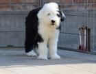长沙纯种古代牧羊犬价格 长沙哪里能买到纯种古代牧羊犬
