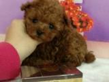超级可爱的泰迪犬出售,长不大的颜色很纯正的