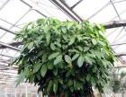 绿色植物租赁 企业绿植租摆 园林绿化养护
