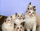 猫舍直销 各种名猫 健康无癣