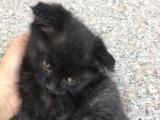 黑色折耳猫低价出售