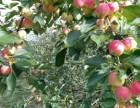 出售各种果树李子树大樱桃蓝莓