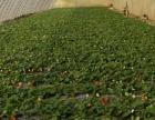 惠翔世纪庄园草莓季开始啦