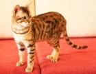 哪里有纯种豹猫猫舍 上海爱宠网 多只挑选