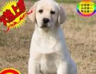 纯种拉布拉多犬幼犬 嘴宽骨量毛量大 签协议包纯种
