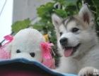 狗场直销一纯种哈士奇犬一本周一送用品一签协议保障