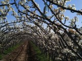 金秋梨苗,金秋香梨苗价格,4公分梨树苗,占地大梨苗