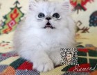 贵阳出售纯种金吉拉猫自家繁殖,品质保证,健康纯种