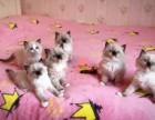兰州买卖宠物地方 兰州哪里卖健康布偶猫价格便宜